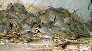 موشها استرالیا را خوردند! + عکسها